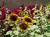 D201-2012 Sunflower cultivar.<br /> .<br /> Matthaei Botanical Gardens, Ann Arbor, Michigan.<br /> July 20, 2012.<br /> (nex5n)