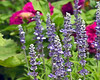 D207-2012 Salvia or Sage or some other Lamiaceae (mint family) member<br /> .<br /> Matthaei Botanical Gardens, Ann Arbor, Michigan<br /> July 26, 2012<br /> (nex5n)