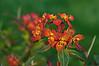 D133-2012 Griffith's Spurge<br /> Euphorbia griffithii 'Fireglow'<br /> Family Euphorbiaceae<br /> <br /> Toledo Botanical Garden, Ohio<br /> May 13, 2012<br /> (nex5n)