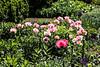 D157-2013 Poppies, Papaver orientale 'Raspberry Queen' and 'Cedar Hill'<br /> .<br /> Perennial Garden at the Matthaei Botanical Gardens,<br /> Ann Arbor, Michigan<br /> June 6, 2013