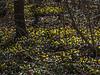 D088-2013  Winter Aconite<br /> <br /> In a yard on Onondaga Street, Ann Arbor<br /> March 29, 2013