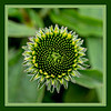 Bud of purple coneflower