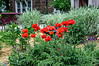 "D159-2013  Poppies in the flower garden in front of the Rudolf Steiner House.<br /> See filtered versions here <a href=""http://smu.gs/ZEyn04"">http://smu.gs/ZEyn04</a> and here <a href=""http://smu.gs/ZEypFr"">http://smu.gs/ZEypFr</a><br /> <br /> Genus Papaver; species and hybrid/cultivar unknown<br /> <br /> Geddes Avenue, Ann Arbor, Michigan<br /> June 8, 2013"
