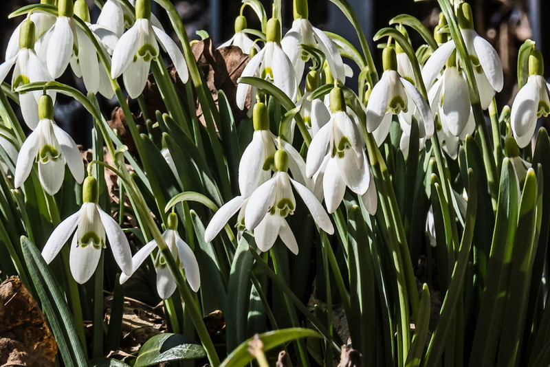 """D088-2013 Snowdrops, Galanthus nivalis (Common snowdrop)<br /> Family Amaryllidaceae<br /> <br /> I added a layer of sumi-e filter to this version of the shot.  See a differently filtered version as my April 4 post to the DailyPhotos community here:  <a href=""""http://smu.gs/14PxhlK"""">http://smu.gs/14PxhlK</a><br /> <br /> Nichols Arboretum<br /> March 29, 2013"""