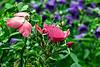 D176-2013  Poppies<br /> .<br /> Perennial Garden, Matthaei Botanical Gardens, Ann Arbor<br /> June 25, 2013