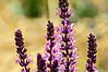 D159-2013  Unidentified flower<br /> <br /> Rudolf Steiner House, 1923 Geddes Avenue<br /> Ann Arbor, Michigan<br /> June 8, 2013