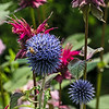 Bee Preference - Globe Thistle over Beebalm!