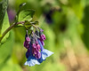 D119-2014  Bluebells (Mertensia virginica)<br /> <br /> Just a few blooms were open, and a few buds.  Most plants were still at the leaf stage.<br /> <br /> Forest Hill Cemetery, Ann Arbor, Michigan<br /> April 29, 2014