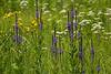 Prairies wildflowers, featuring vervain