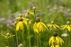 Prairie flowers featuring coneflowers
