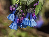 D119-2014  Bluebells (Mertensia virginica)<br /> <br /> One of my favorite Mertensia shots I've ever taken.  Why so?  Because of the sheen I managed to capture in the blossoms and even the sepals, where rainbow glints of light dispersion can be seen.<br /> <br /> Forest Hill Cemetery, Ann Arbor, Michigan<br /> April 29, 2014