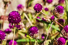 Gomphrena - globe amaranth - filtered version