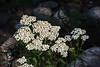 Common yarrow - wildflower