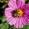 Focused on its task - feeding bee