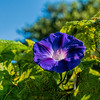 Two vines entwined - morning glory and grape