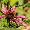 Purple coneflower past its prime