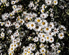 Cultivated white asters