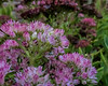 Pretty pink sedum with raindrops