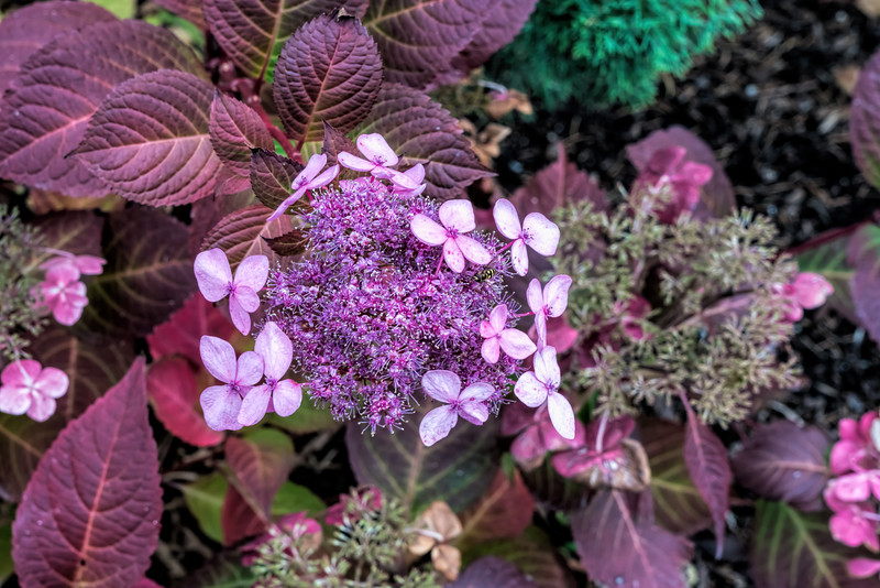 Late blooming lavender hydrangea with visitor (sc 2017-11-09)
