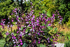 Hyacinth bean vines