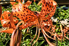 D206-2017  <br /> > Tiger lilies (an Asiatic lily)<br /> <br /> County Farm Park, Ann Arbor<br /> Taken July 25, 2017