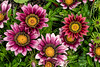 For 2017-07-17:  Gazanias - What's Not to Love?