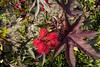 Castor Bean or Castor-oil Plant, Ricinus communis