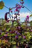 Hyacinth bean (Lablab purpurea) with beans and blossoms
