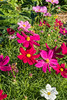D204-2017  <br /> > Cosmos flowers in a rich mix of colors.<br /> <br /> County Farm Park and Recreation Center, Ann Arbor<br /> Taken July 23, 2017