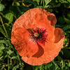 Apricot colored poppy