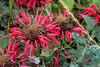 Monarda, red cultivar
