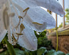 Hosta blooms drenched and dripping