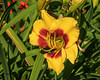 Yellow and red day lily