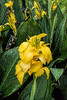 Yellow canna with raindrops