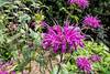 Monarda 'Purple Rooster'