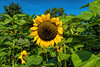 Common sunflower, Helianthus annuus