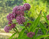 Swamp milkweed at the edge of the pond