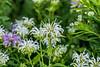 For 2017-08-05:  Wild white bergamot or monarda