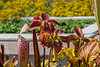 North American pitcher plants