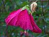 D247-2011 Hibiscus<br /> A burden of raindrops.<br /> Filtered version:<br /> Top)  Poster edges (1 3 6) at 50% fill, 50% opacity<br /> Bottom) Dry brush (7 6 2) at 100%<br /> <br /> Toledo Botanical Garden.<br /> Ohio<br /> September 4, 2011