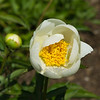 Anonymous peony, white single