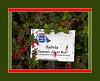 D270-2011 Salvia 'Summer Jewel Red'<br /> <br /> Hidden Lake Gardens, Lenawee County, Michigan<br /> September 27, 2011