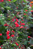 D270-2011 Salvia 'Summer Jewel Red'<br /> Salvia is the genus name for a large group of plants of the mint family, Lamiaceae.  Ornamental varieties are commonly called sage.  Both names have the same Latin root, salvere (to save).  'Sage' comes through Old French, sauge, from the Latin, however.  The name refers to reputed healing powers of the plants.<br /> <br /> Hidden Lake Gardens, Lenawee County, Michigan<br /> September 27, 2011
