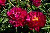 Anonymous peony, red double