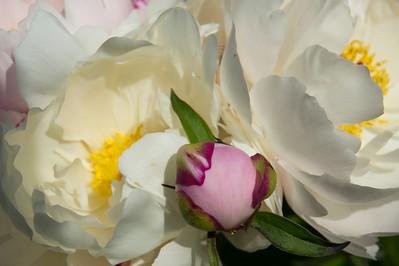 E06 Peony bloom buds