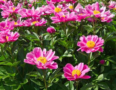 E04. Anonymous Peony Garden herbaceous peonies