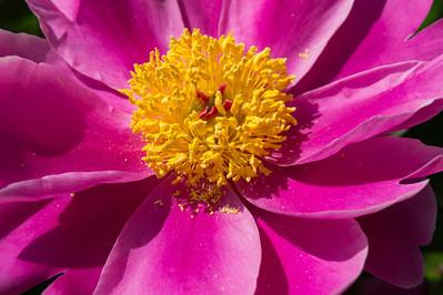 E07. Peony bloom details and close-ups