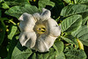 Devil's Trumpet, species of Datura