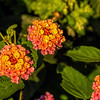D247-2016 Lantana, aka shrub verbena<br /> <br /> County Farm Park, Washtenaw County, Ann Arbor<br /> Taken September 4, 2016