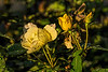 Lemon custard color in early fall roses